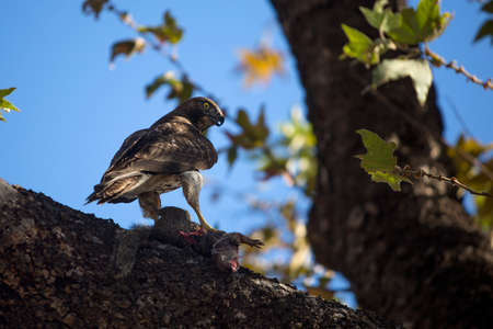 bird eating raptors: Juvenile red tailed hawk on tree branch with squirrel prey