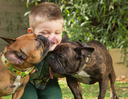 french bulldog puppy: Two bulldogs licking little boy sitting outdoors