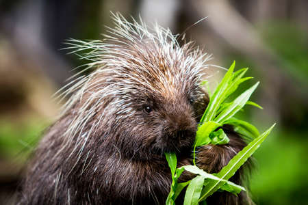 stalk: New world porcupine eating leaves from a green stalk Stock Photo