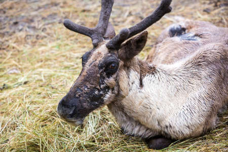 molting: Resting reindeer seated in hay while molting as summer months approach