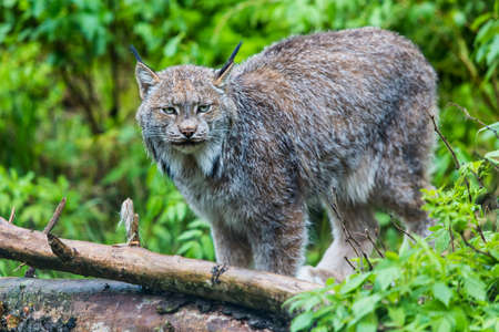 Canadian lynx on standing near log with fur on it in the wild Stock Photo