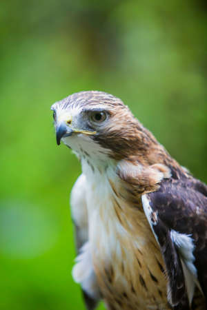 Close up of a mature red tailed hawk in the wild