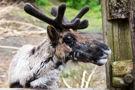 caribou: Reindeer in ranch enlosure with molting coat and velvet on its antlers