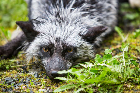 silver fox: Close up on the silver variety of the common red fox laying on ground