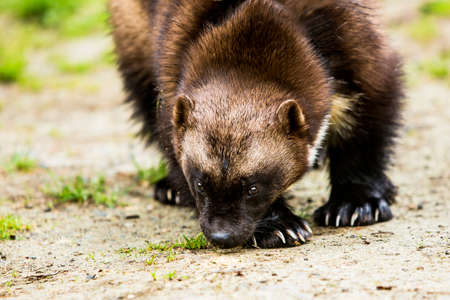 wolverine: Wolverine hunter catching scents along the ground in forest clearing Stock Photo