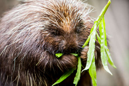 munching: Single hungry new world porcupine eating a stalk of green leaves Stock Photo