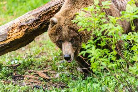 single animal: Watchful female grizzly bear in forest clearing near rotten log