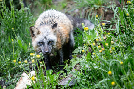 single animal: Siver variety of the red fox hunting in low grass