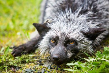 silver fox: Melanistic silver version of the red fox variety relaxing outdoors
