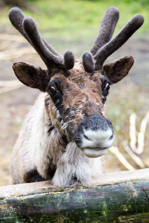 molting: Molting reindeer with full velvet covering antlers looking over fence
