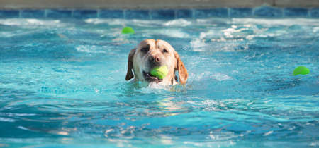 Cute dog swimming in large pool with yellow tennis ball in his mouth Stock Photo