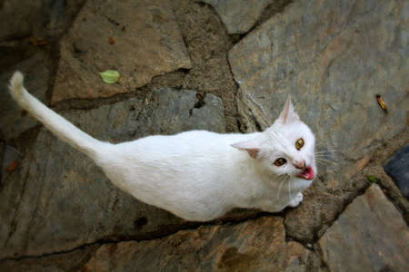 pure breed: White cat sit down on the stone floor  Stock Photo