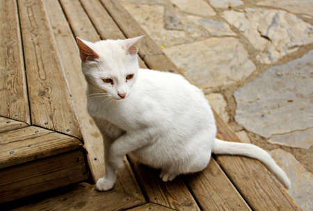 pure breed: White cat sit down on the wood step
