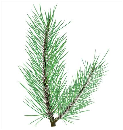 pine needle: Pine branch on white background