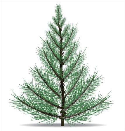 conifers: Pine Tree
