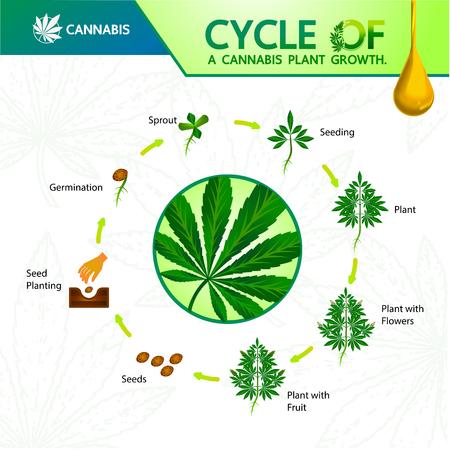 Zyklus eines Cannabispflanzenwachstums. Vektorgrafik
