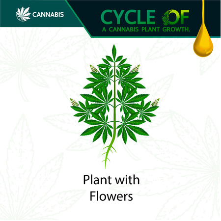 Cycle of a cannabis plant growth.