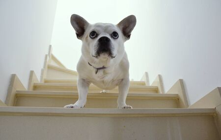 A bossy mixed race white dog looking down from stairs