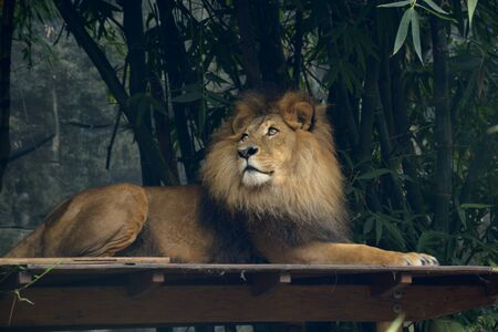 A Royal Male Lion with a Majestic Look in His Eyes.