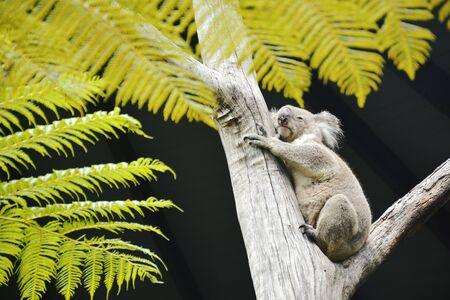 A Tree Hugging Grey Koala in Australia.