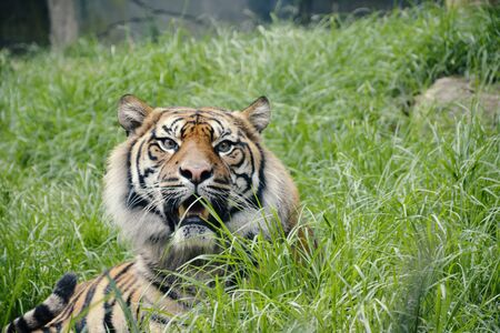 A Large Tiger Sitting in Grass Field