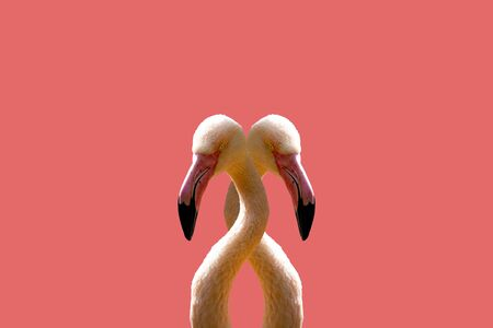 Two pink interconnected flamingo on a pink background. 版權商用圖片