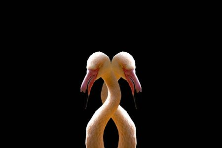 Two pink interconnected flamingo on a black background. 版權商用圖片