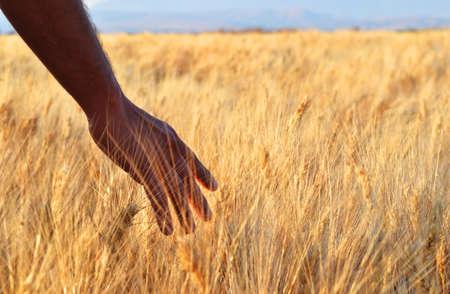 Caucasian Farmer Placing his Hand on Wheats 版權商用圖片