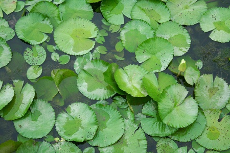 maintained: lotus leaves background
