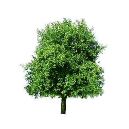 Tree isolated  photo