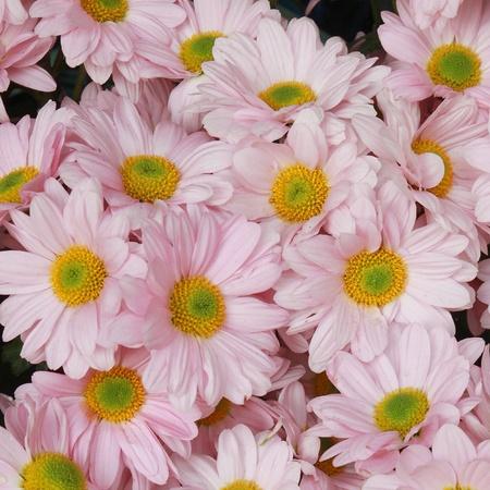 daisy flower photo