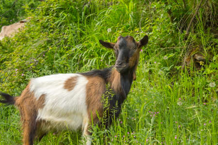 nanny goat: Close up of a goat in the field