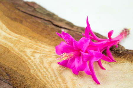 cactus flower: Gorgeous pink cactus  flower on a rustic wooden board