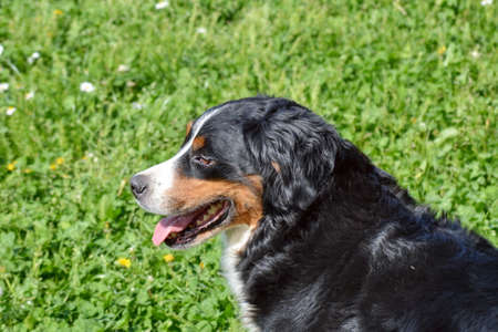 bernese mountain dog: Bernese Mountain Dog sitting in the park Stock Photo