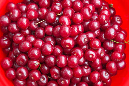 freshly picked: Freshly picked cherries in a bucket