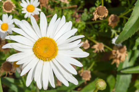 smaller: Big daisy flower and smaller ones in a garden outdoors Stock Photo