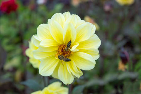 collecting: Beautiful yellow flower with a bee collecting nectar Stock Photo