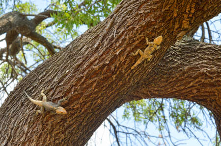 lizzard: Lizards chasing on the tree bark