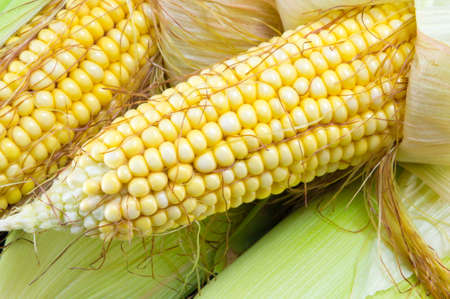 corn yellow: Partially revealed fresh yellow corn cobs stacked