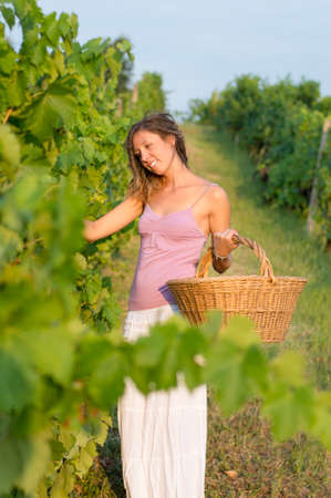 harvest field: Young girl in grape harvest with big wicker basket for storing grapes. Working in field