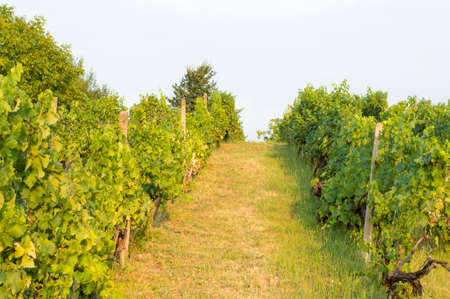 serbia: View at a wineyard in Serbia Stock Photo