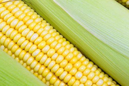 corn yellow: Fresh picked yellow corn cobs close up