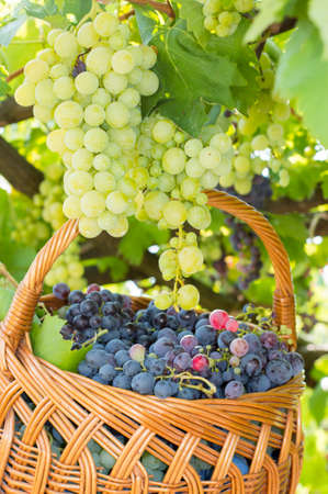 concord grape: Grapes on tree with basket of freshly picked grapes beneath Stock Photo