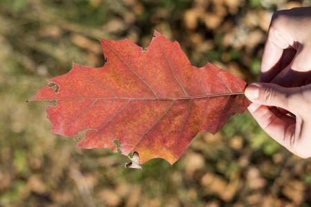 Red Herbst Blatt in Händen Mädchen im Freien. Herbst Blätter im Hintergrund