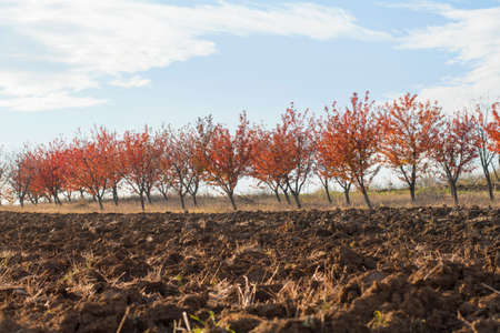 fertile land: Fertile land with red leaves orchard background against blue sky