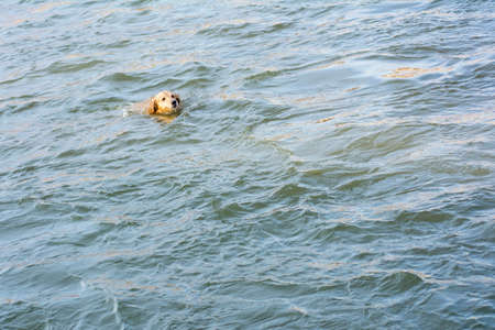 retreiver: golden retriever swimming in a river