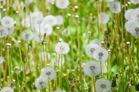 Close up of a field filled with dandelions