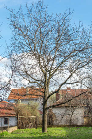 walnut tree: Walnut tree at the countryside surrounded by small houses