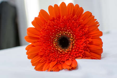 orange gerbera: Orange Gerbera flower close up Stock Photo