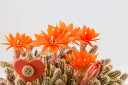 cactus flower: Real homegrown orange cactus flower on a white background